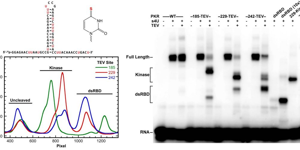 PKR- RNA crosslinking